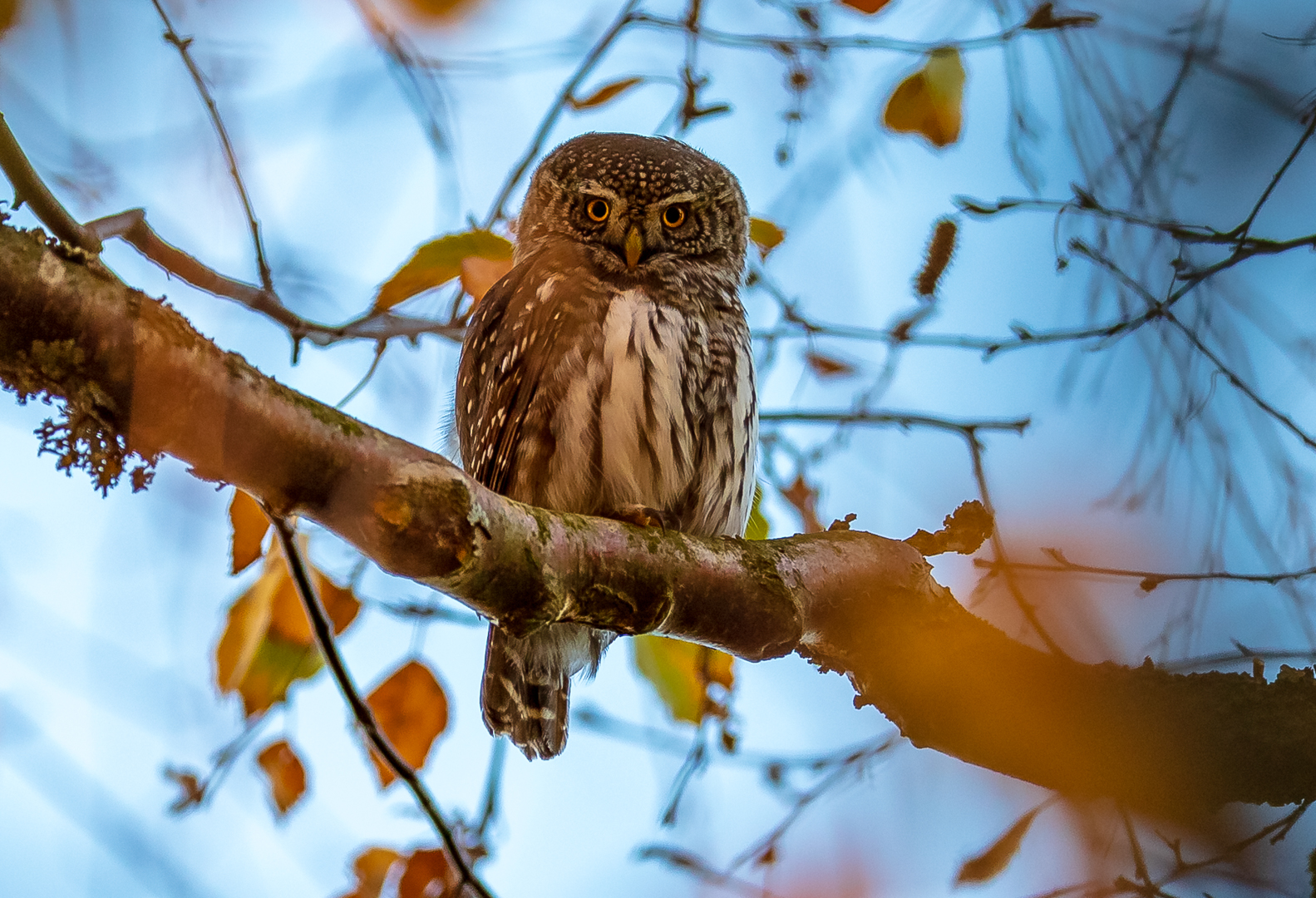 The tiny eurasian pygmy owl © Foto: Andreas Persson