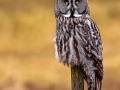 The wise great grey owl © Foto: Andreas Persson